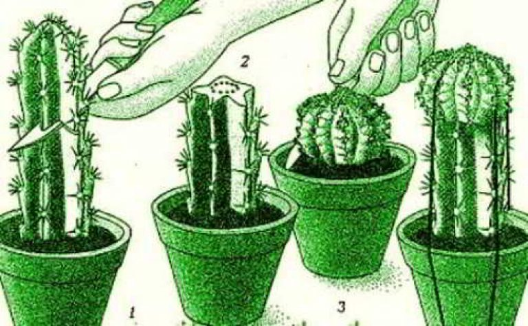 прививка кактусов вприклад
