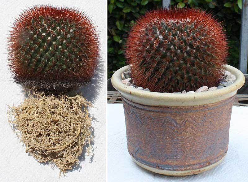 выбор горшка для пересадки кактуса