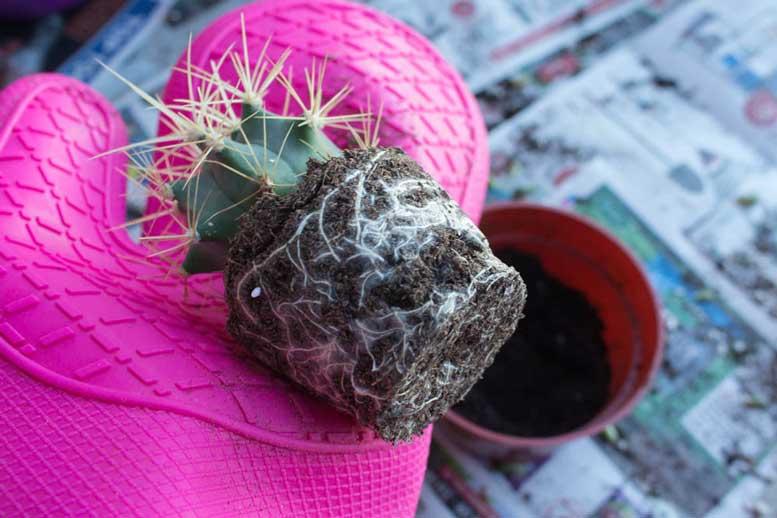 пересадка кактуса в другой горшок