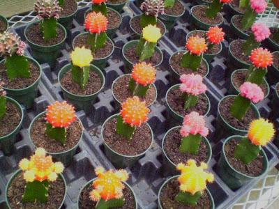 бесхлорофильные кактусы, привитые на гилоцереус