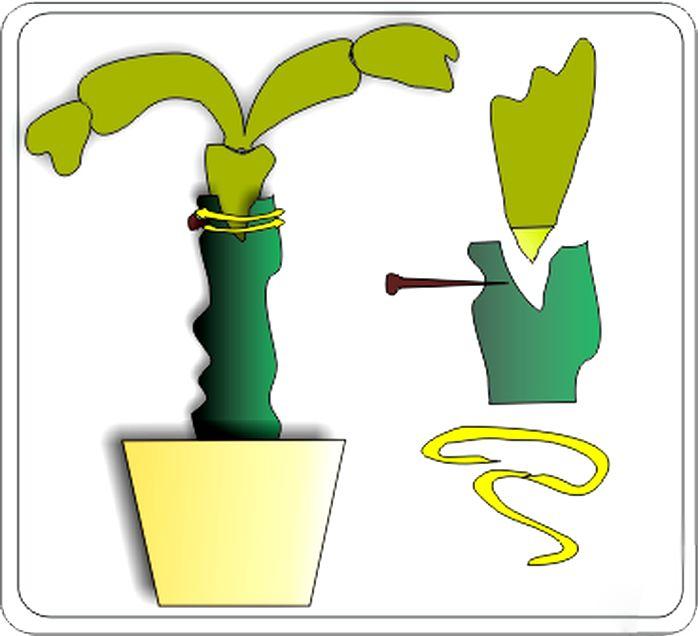 прививка кактуса вращеп