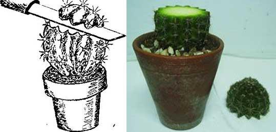 размножение кактусов черенкованием