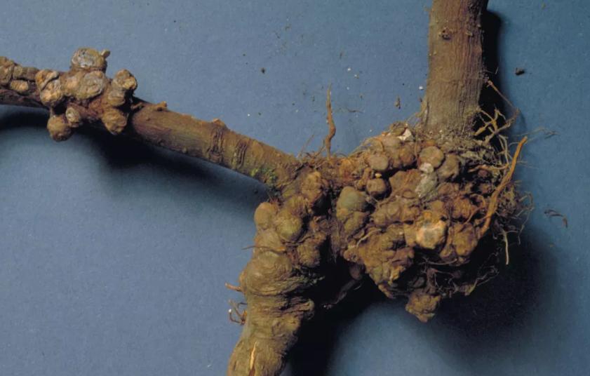 корневой рак - фото проблемы