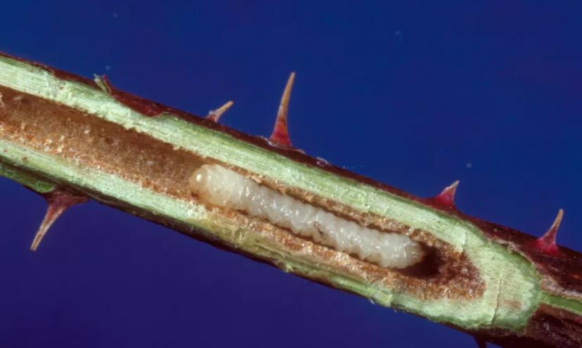 личинка пилильщиков проблема роз