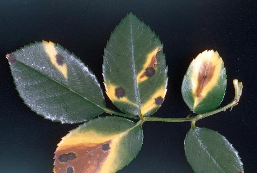 Черная пятнистость на розах - определить проблему роз по фото