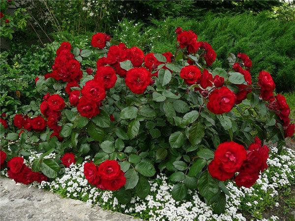 Розы и полынь - неожиданно, но очень красиво!