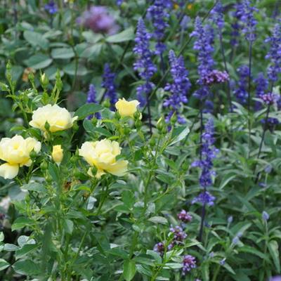 Розы и шалфей - отличные соседи