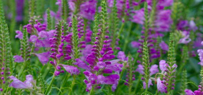 физостегия - выращивание и уход