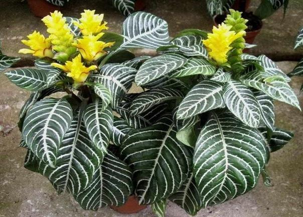 Афеландра оттопыренная  - растения с красивыми листьями