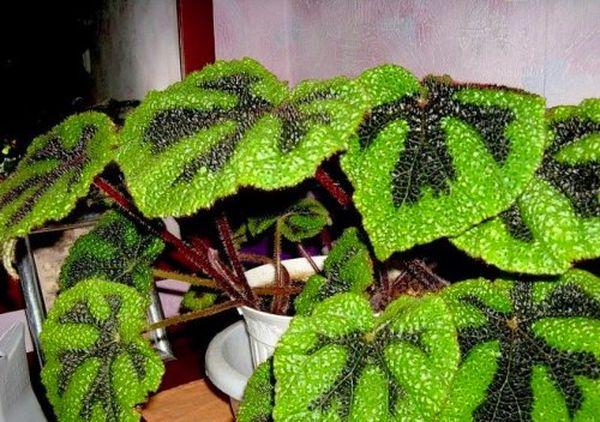 Бегония Мэсона - растения с красивыми листьями