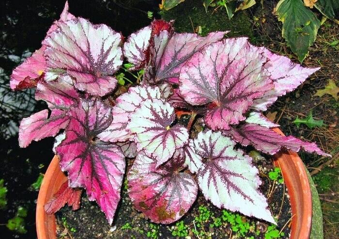 Бегония королевская - растения с красивыми листьями