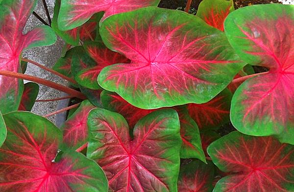 Каладиум двуцветный  - растения с красивыми листьями