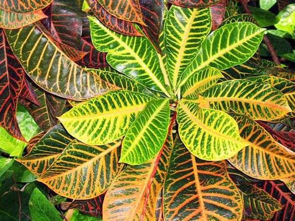Кодиеум пестрый растения с красивыми листьями