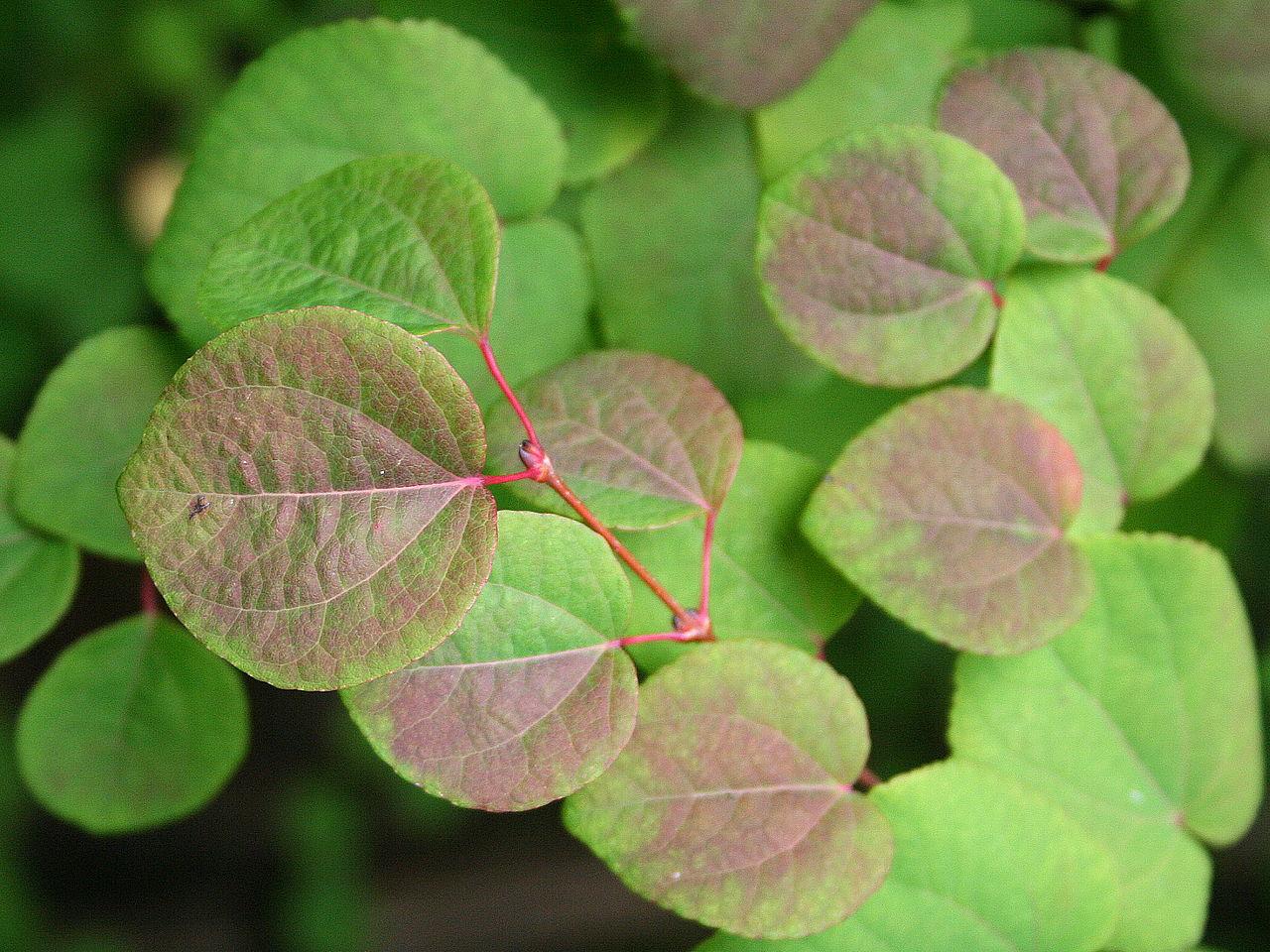 листья багрянника японского