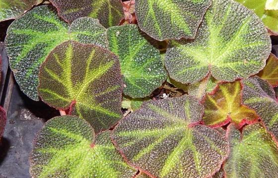 Бегония соли-мутата - растения с самыми красивыми листьями